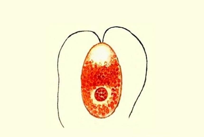 Возбудитель малярии - малярийный плазмодий